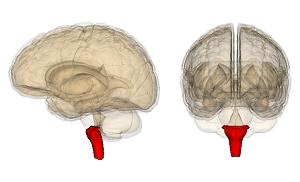 medulla-autonomic-nervous-system